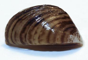 A zebra mussel
