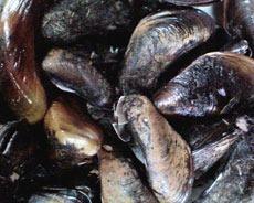 Golden mussels