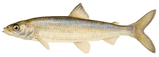 Lake herring (Coregonus artedii), or ciscoes