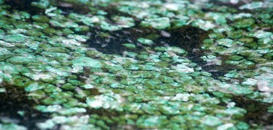 Blue-green algae (cyanobacteria)