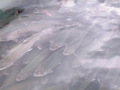 This image shows Brook trout similar to those affected by anti-depressants in Montreal's river water.