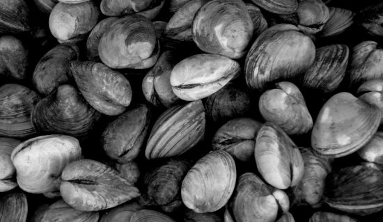 Proposed study would evaluate Rangia clam's role in oil cleanup
