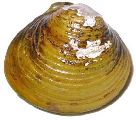 Asian clam (Corbicula-fluminea)