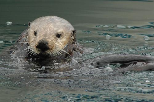 sea_otters (1)