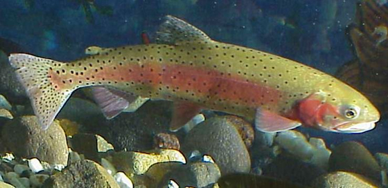 Northwest trout found carrying new disease lake scientist for Piscine reovirus