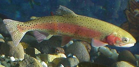 Northwest trout found carrying new disease lake scientist for Piscine reovirus
