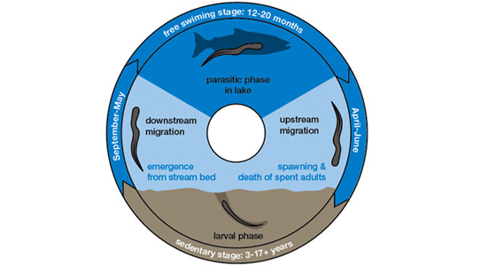 sea lamprey life cycle