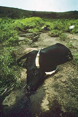 Cow_killed_by_Lake_Nyos_gasses