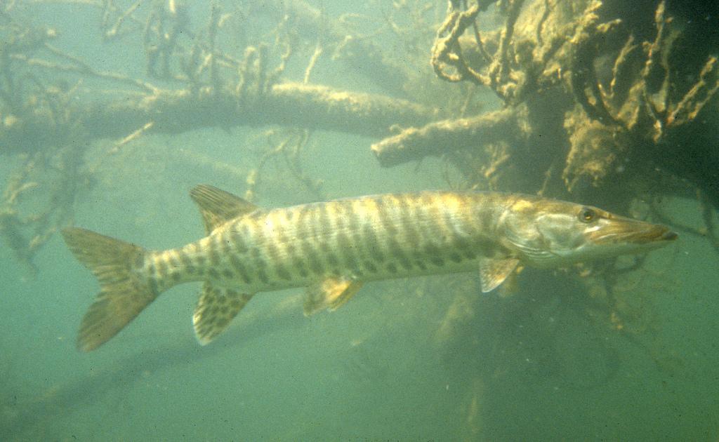 Lower levels in little rock lake fish lose habitat for Musky fishing reels