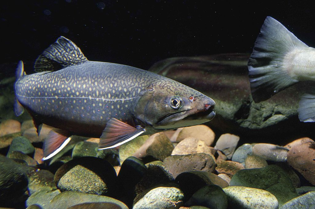 pristine lakes contain mercury Brook trout freshwater fish
