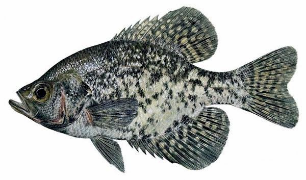 Crappie lake scientist for Crappie fish facts