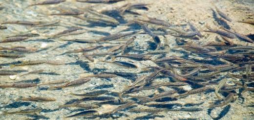 Brown-trout-fingerlings
