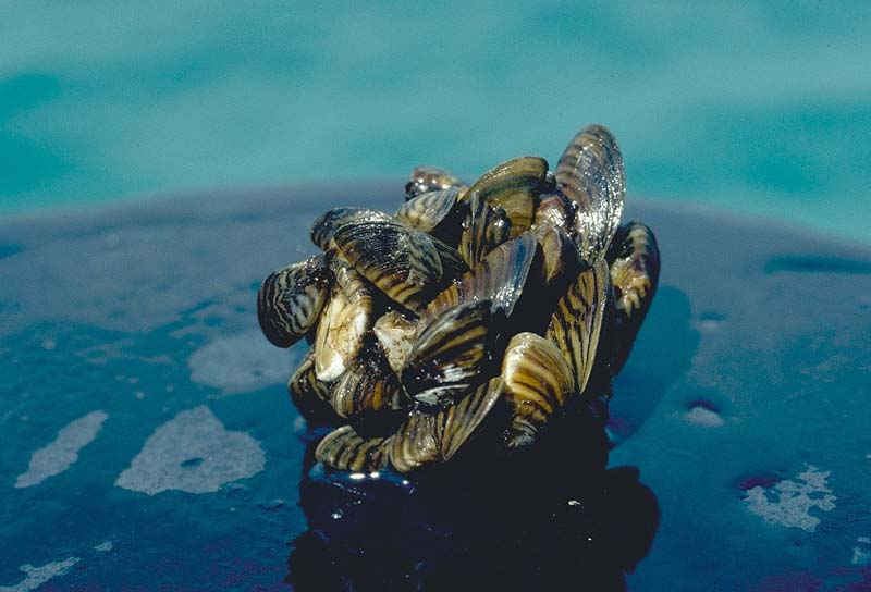 liquid potash treatment / Zebra mussel cluster. Photo taken by D. Jude, Univ. of Michigan.