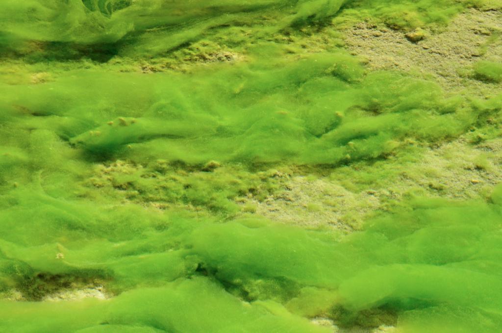 algal toxins alzheimer's