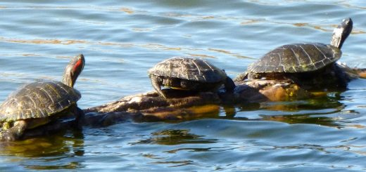 lake michigan turtles