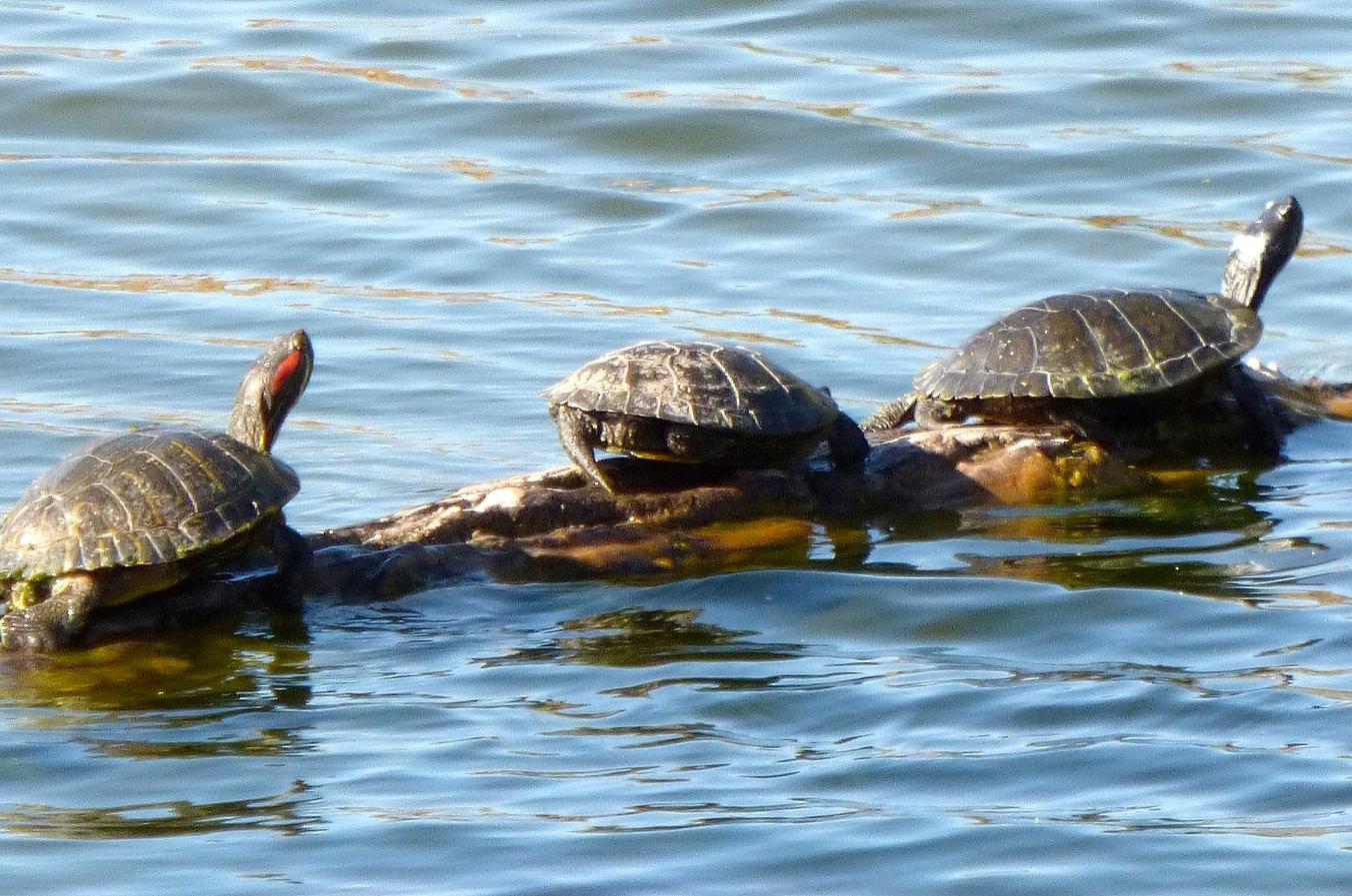lake michigan turtles